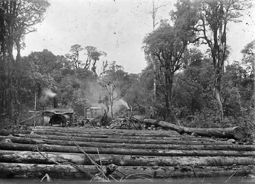 Rimu logging at Mamaku