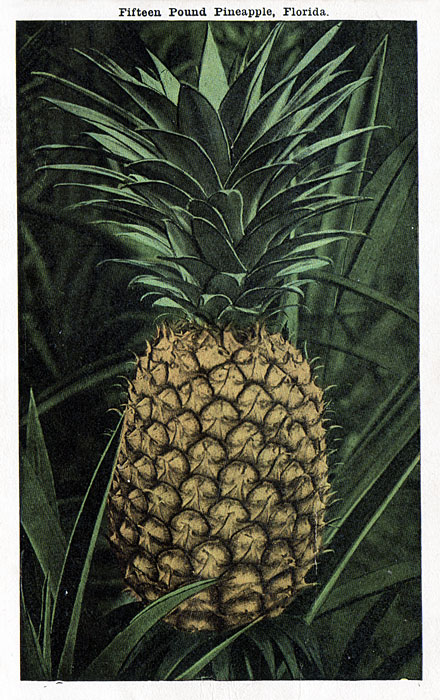 fifteen-pound-pineapple-florida