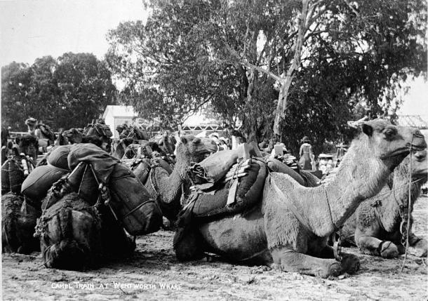 camel history03